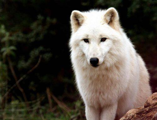 Reserva de lobos en Antequera, Málaga
